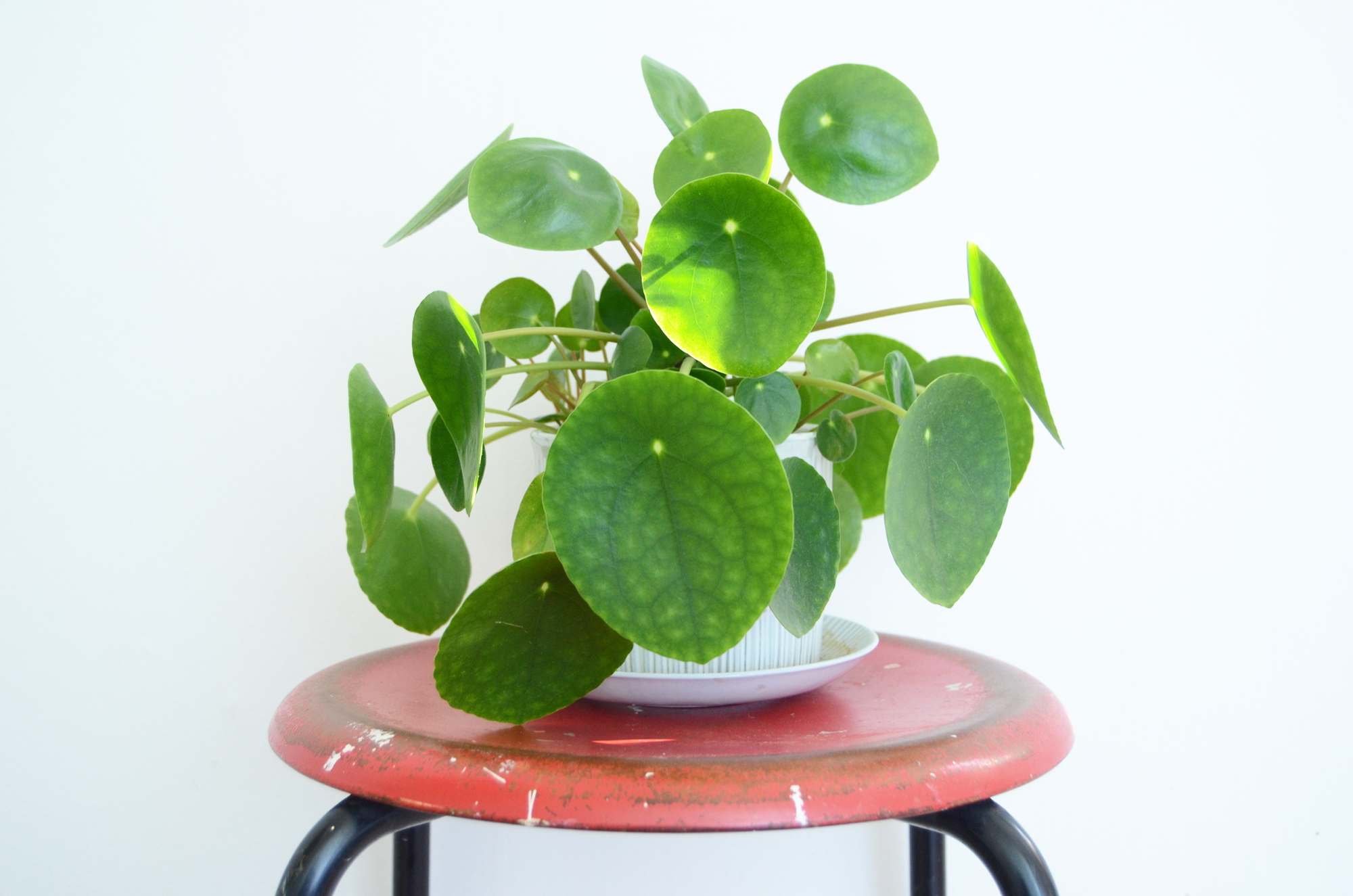 the gallery for pilea peperomioides. Black Bedroom Furniture Sets. Home Design Ideas